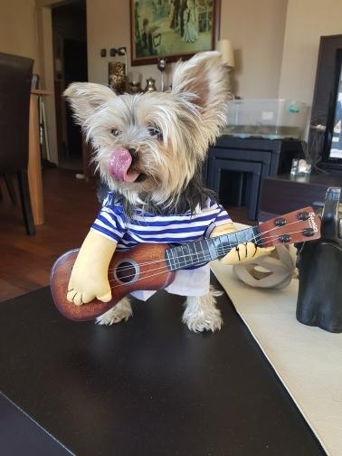 Funny yet cool guitar player yorkie costume - Wolrdiscounts