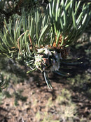 Pine Poultice - This is a little southern comfort freeshipping - PuaGme