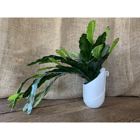 Hanging Faux Christmas Cactus - Lady of the Lake
