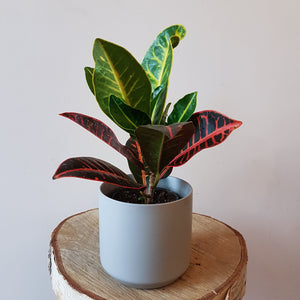 "4"" Potted Tropical Plant"