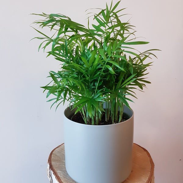 "6"" Potted Tropical Plant"