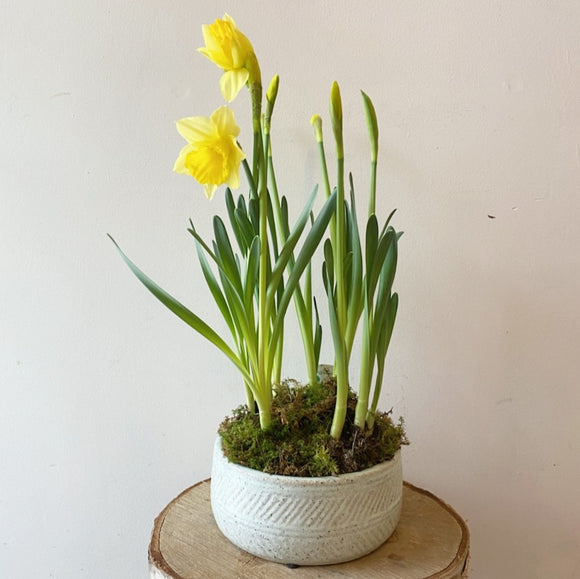 Potted Daffodil Bulbs