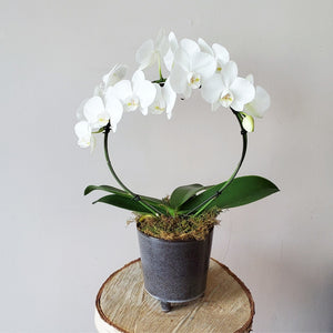 Potted Infinity Orchid