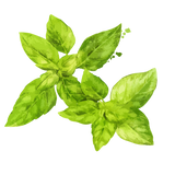 Holy Basil Leaves