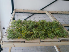 Wild Fennel Drying - Pic 1