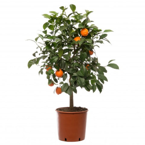 Citrofortunella microcarpa (citrusboom)