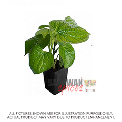 Betel Leaves Plant Small