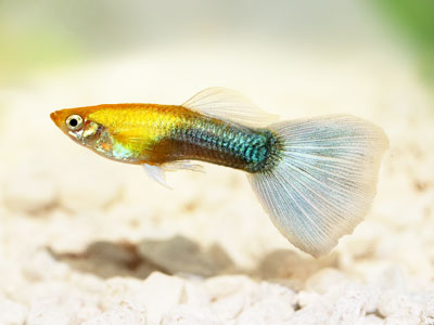 Show Grade Guppy Female