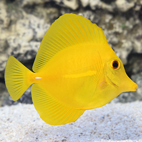 Yellow Tang Hawai
