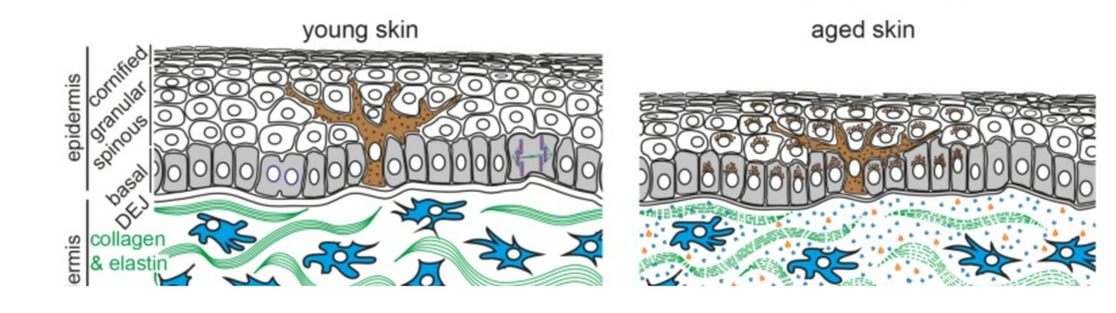 diagram of young vs old cells
