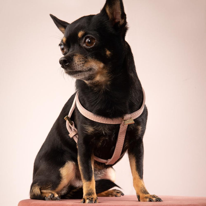 Chihuahua Geschirr Leder Rosé-goldenen Elementen - Not Too Pet