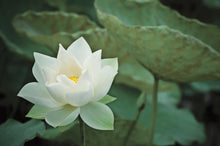 Load image into Gallery viewer, Presentation Box Lotus