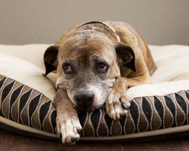 Arthritis in our Senior Dogs