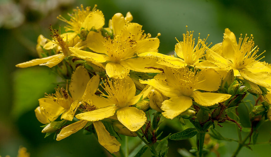 Hypericum or St Johns Wort