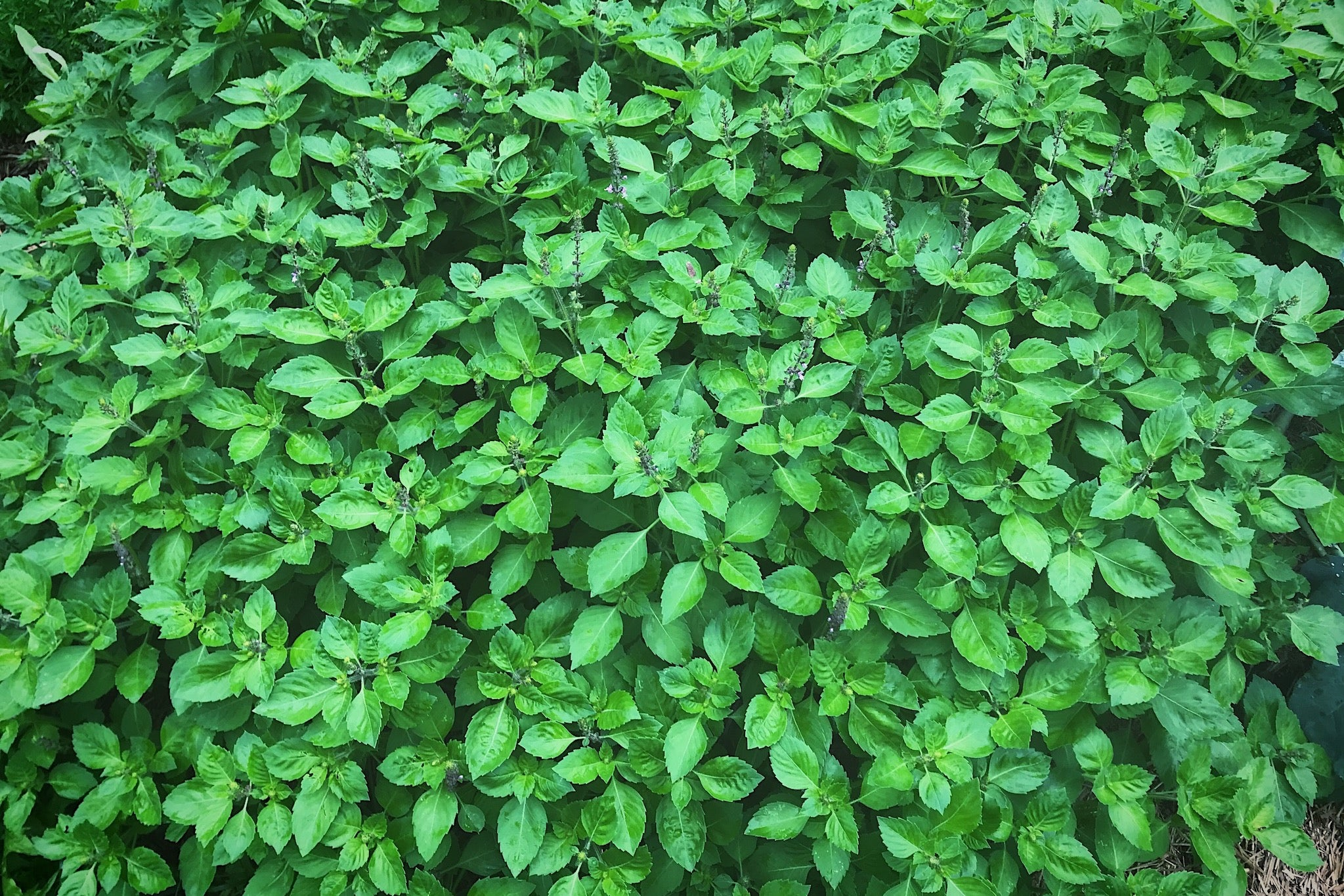 tulsi holy basil farm