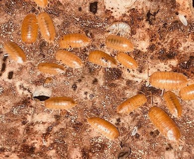 Giant Orange Woodlice - Croydon Reptiles