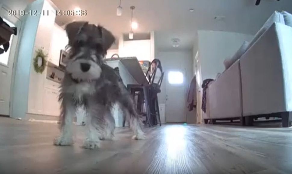 Curious Puppy Caught on HeimVision Camera