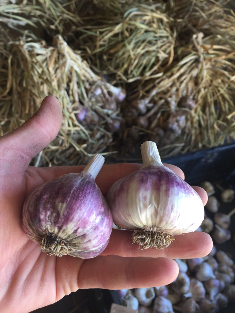 Growing Garlic in the PNW
