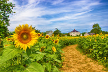 Load image into Gallery viewer, Sunny Sunflowers