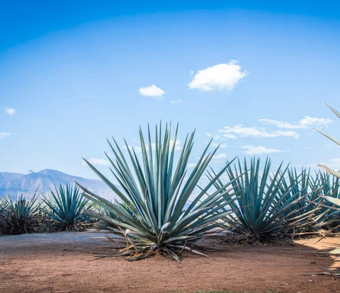 Blue Weber Agave Tequiliana Nation Tequila Day