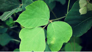 Kudzu Leaf: Health Benefits and Ways to Take