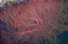 """Red Sycamore"" by Lisa Sheirer"