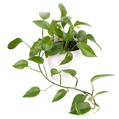 Air purifying devils ivy or pothos plant
