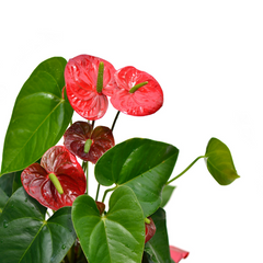 air purifying flamingo lily