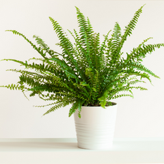 air purifying plant kimberly queen fern