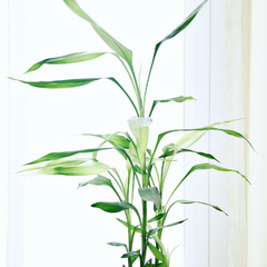 air purifying plant bamboo palm