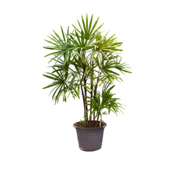 air purifying indoor plant Broad Lady Palm
