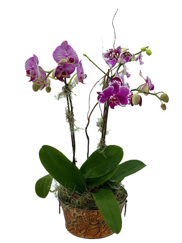 Tin Phalaenopsis Purple