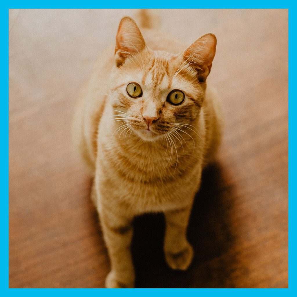 Bluebird Botanicals How To Give CBD To Your Cat