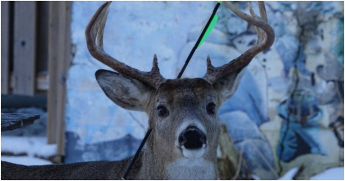 Famous Deer That Visits Same Town Every Christmas Shows Up With An Arrow Through His Head
