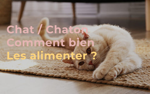 chat et chaton comment les alimenter