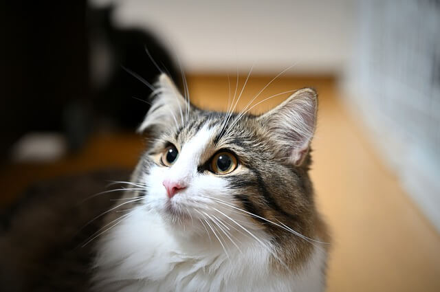 norwegian forest gris blanc