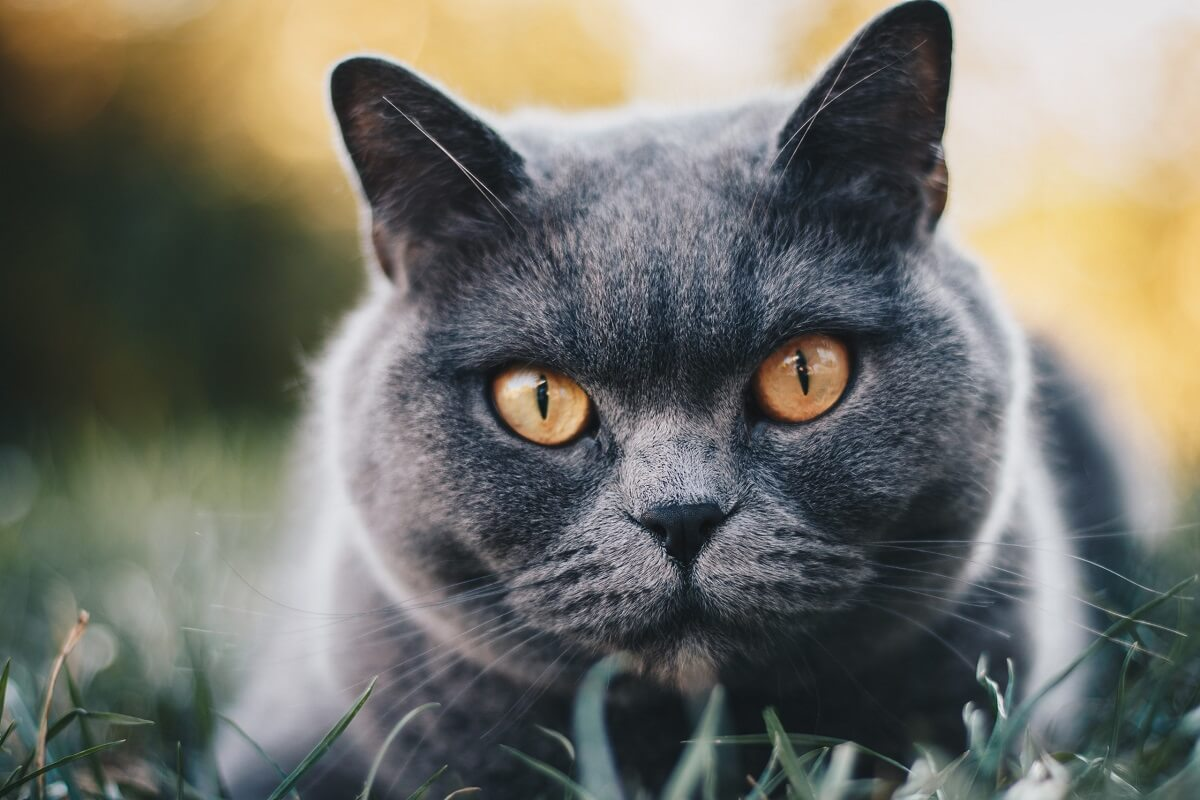 chat yeux oranges