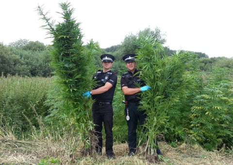 Police with Cannabis - Cannabis Plants Growing Wild in UK Cities