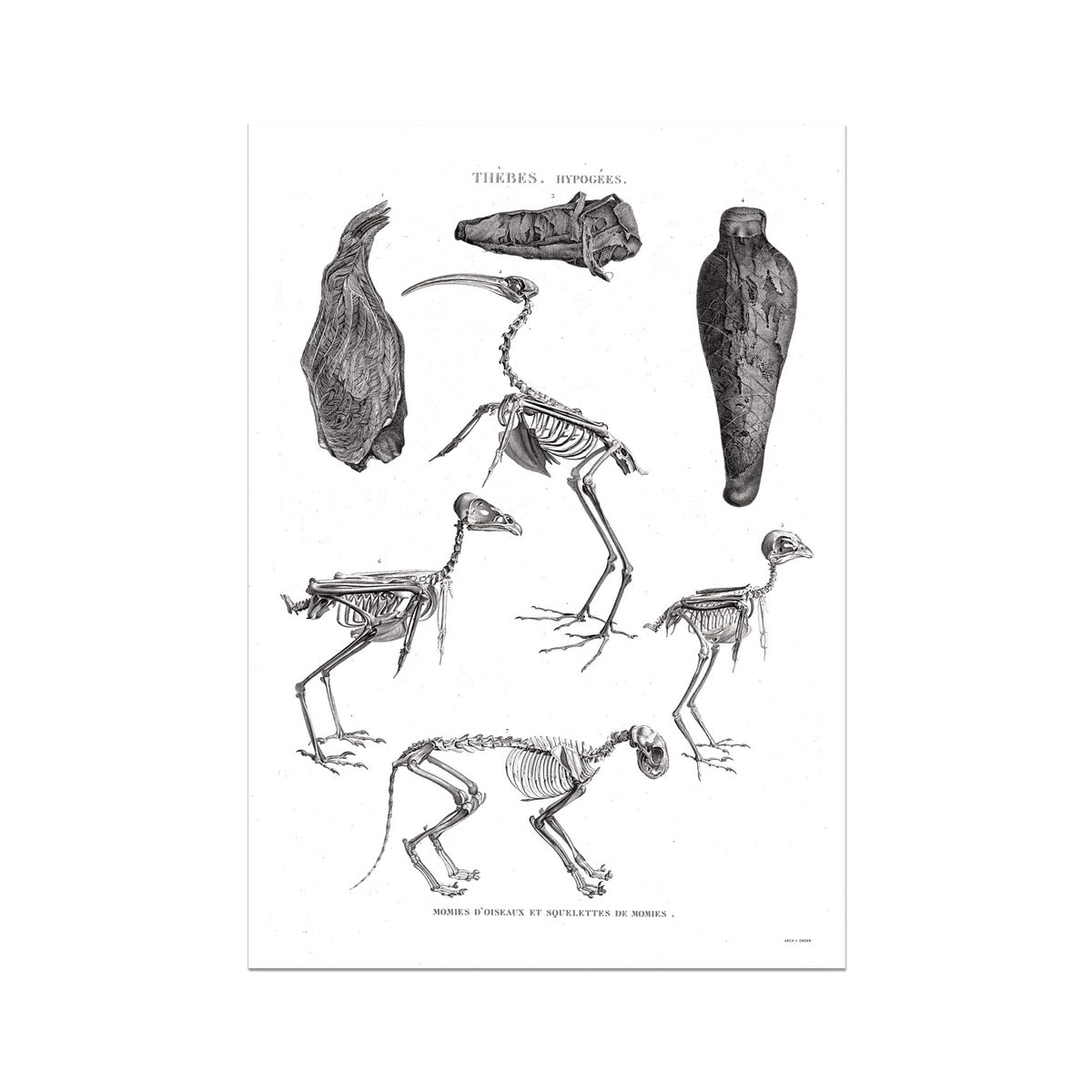 Bird Mummies - Egypt -  Etching Paper Print
