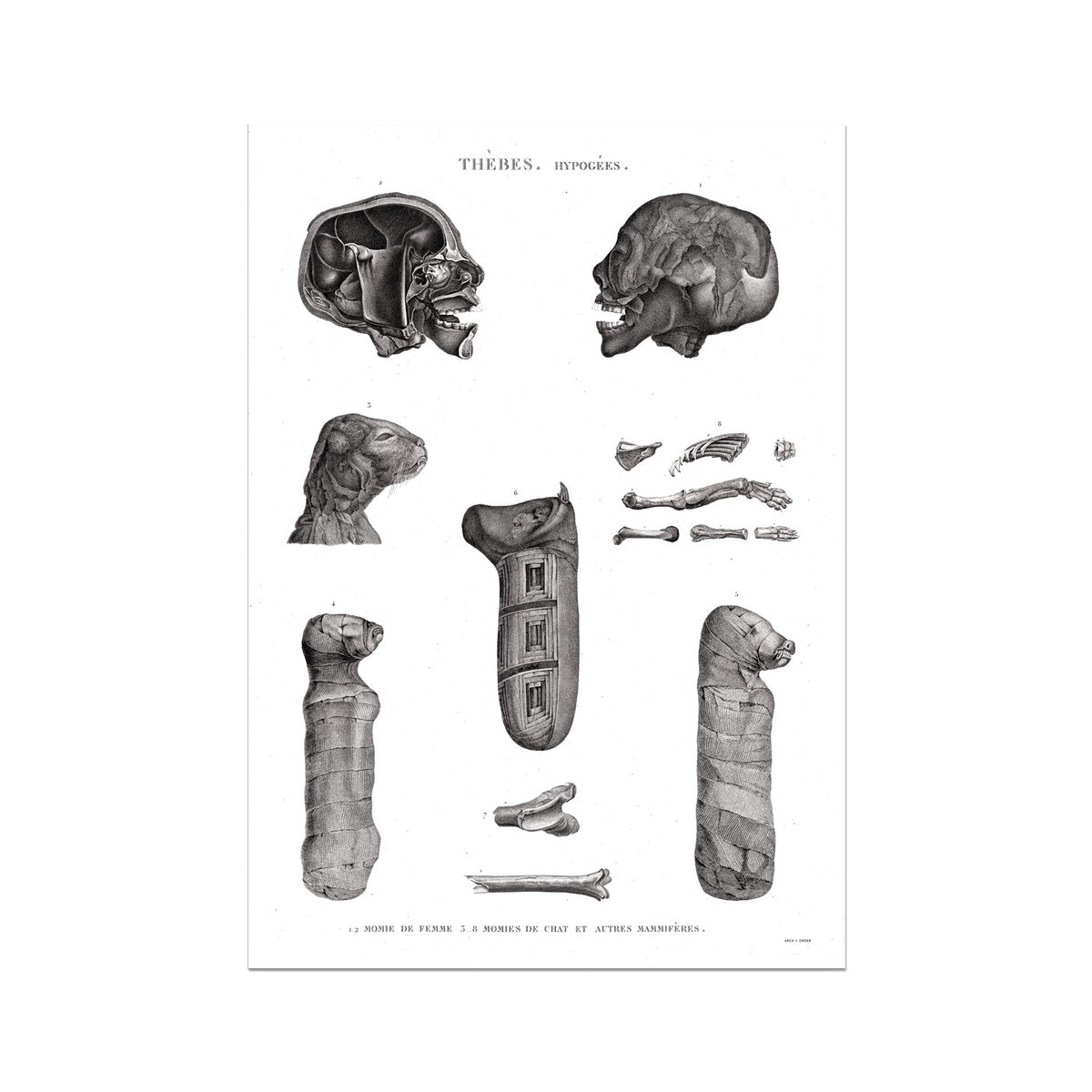 Mammals and Cat Mummies - Egypt -  Etching Paper Print