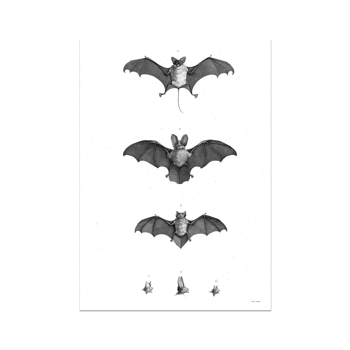 Egyptian Bat - Egyptian Zoology -  Etching Paper Print