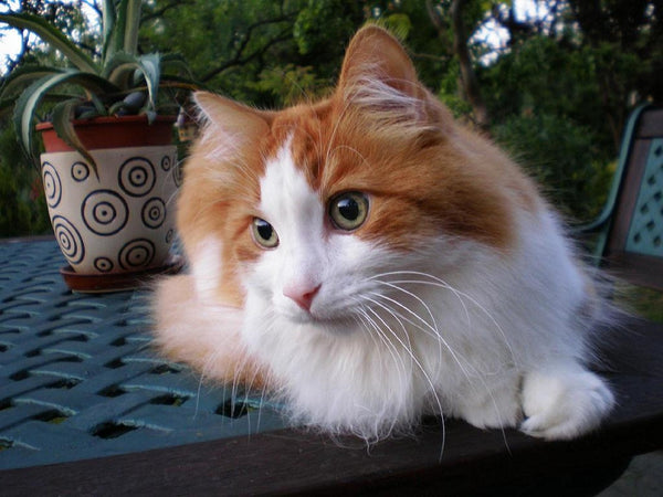 Turkish Angora cat comes in many different colours