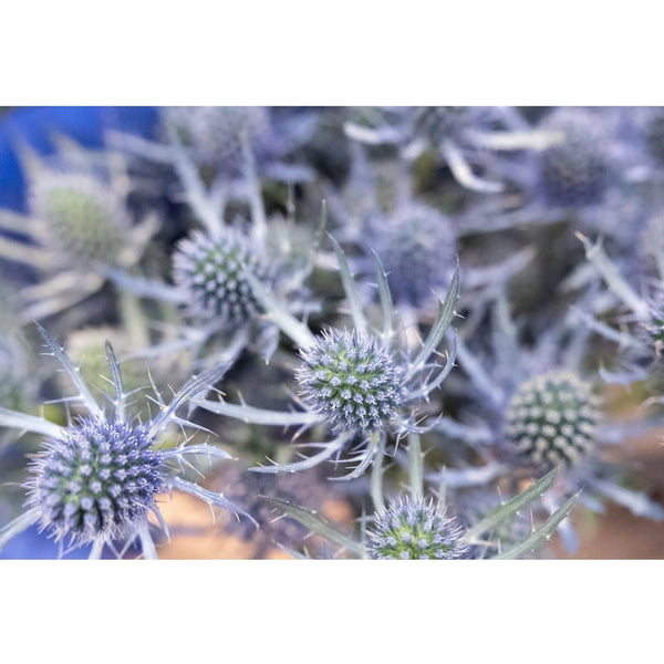 Eryngium - You Floral