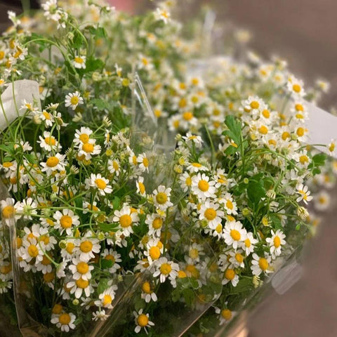 Matricaria (chamomile) - You Floral