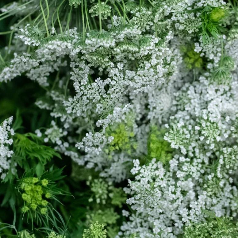 Queen Anne's Lace - You Floral