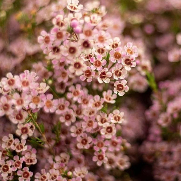 Waxflower - You Floral