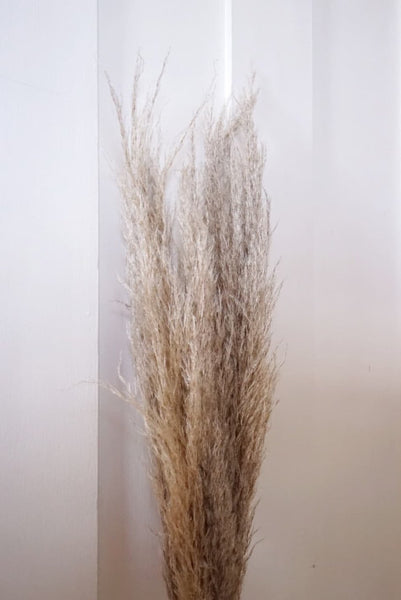 Pampas Grass - South American