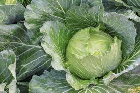 Cabbage, Organic Green