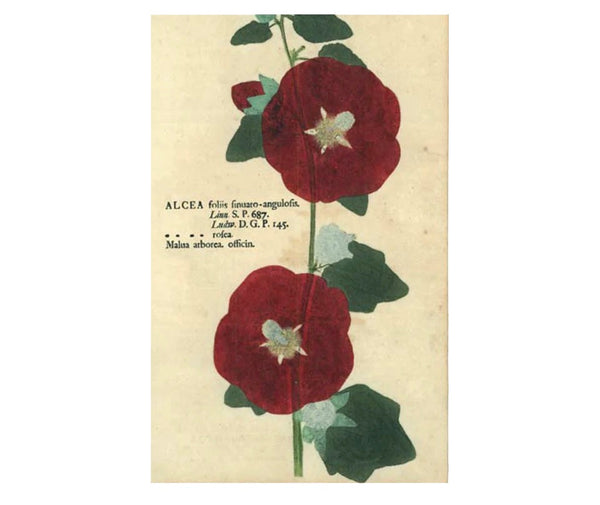 Hollyhock Postcards (pack of 10)