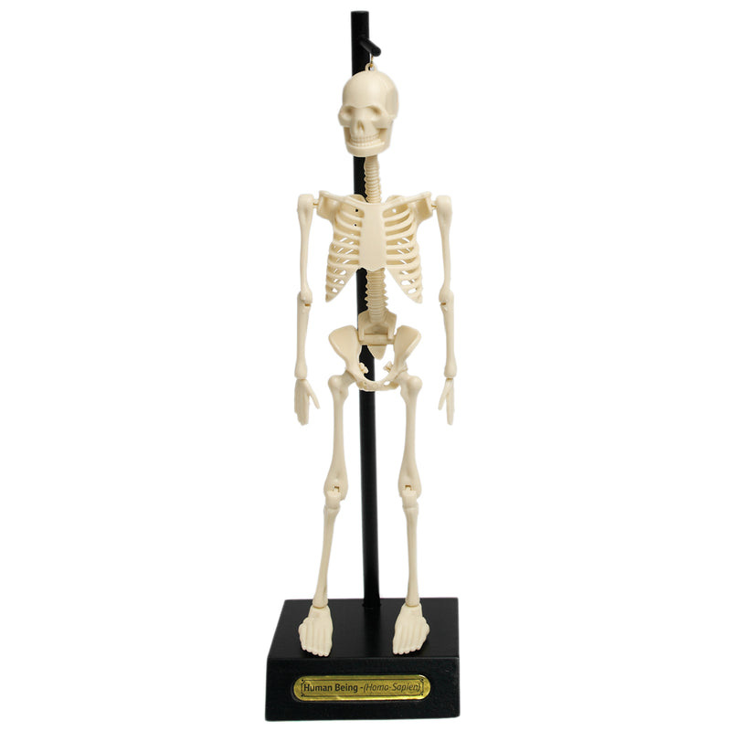 Anatomical Skeleton Model